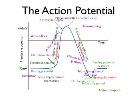 The Action Potential Cec Parker