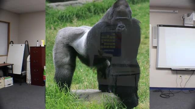 The gorilla song (La canción del gorila)