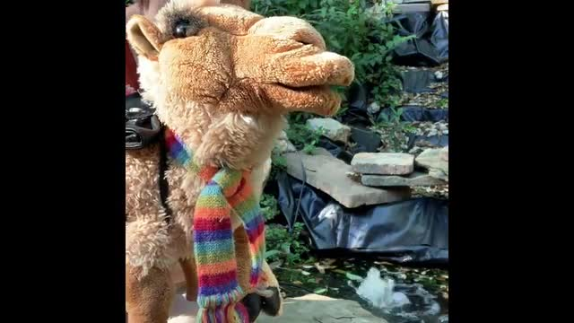 Carla the Camel's Day